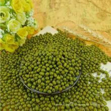 Nouvelle récolte 2012, petit haricot mungo vert pour pousses, type MC