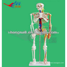 Mini tamaño Médico Esqueleto móvil humano Modelo con Nervios y vasos sanguíneos (85cm de alto) Modelo de mini esqueleto médico