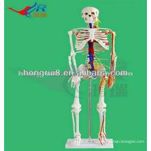 Мини размер Медицинский скелет человека с моделью с нервами и кровеносными сосудами (85 см в высоту)