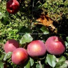 Nueva manzana fresca de alta calidad de la cosecha Fuji