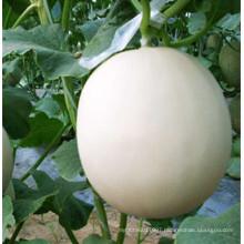 RSM06 Ningti white skin F1 hybrid sweet melon seeds