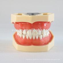 China Modelo anatómico médico suave Gingiva 28 dientes mandíbula dental estándar modelo 13016