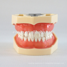 Chine Mâchoire dentaire standard modèle anatomique médical de la gencive molle 28 de dents modèle 13016