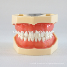 China Medical Anatomical Model Soft Gingiva 28 Teeth Standard Dental Jaw Model 13016