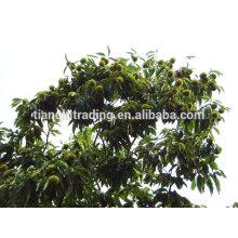 Exportador de castañas chinas Taian