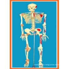 Tamanho total 170 Cm Esqueleto humano com crânio aberto, músculo pintado e ligamento