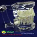 DENTAL11(12571) Human Adult Natural Size Transparent Standard Dental Teach Models