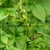 100% Natural Gynostemma Pentaphyllum Extracts