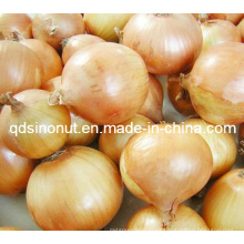 Nueva cebolla fresca del cultivo