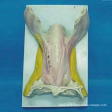 Tongue Muscle Anatomy Model for Medical Teaching (R040110)