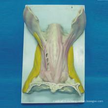 Модель анатомии мышц для медицинского обучения (R040110)