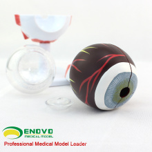 EYE02(12526) Medical Anatomy Model 6-parts Eyes Model