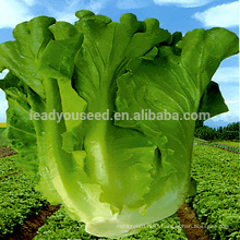 LT08 Dake big size early maturity green lettuce seeds vegetable seeds