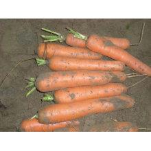 Китайская морковь оптом