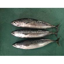 Новая посадочная рыба Bonito