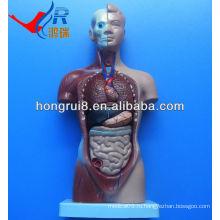 ISO продвинутая медицинская модель туловища, модель человеческого антометрического торса 26 см