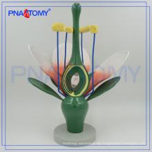 PNT-0836-1 vergrößertes biologisches Dicot Blumenmodell
