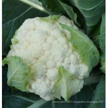 HCF36 Oeryi cold resistent F1 hybrid cauliflower seeds