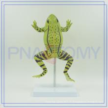 PNT-0820 équipement scolaire élargi modèle de grenouilles éducatifs