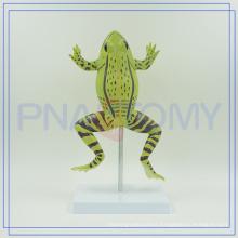 PNT-0820 school equipment enlarged educational frogs model