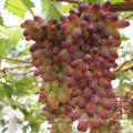 Hormonas da planta de Qfg Brassinolide 90% Tc