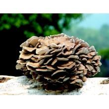 버섯 추출물