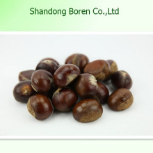 Gesundheit Lebensmittel Raw Chestnut Fresh Chestnut