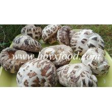 Champignons de marque, Shiitake aux fleurs blanches, Légumes secs