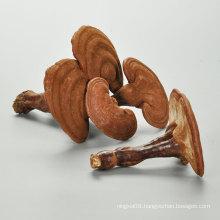 China high quality lingzhi chinese herbs raw dried Lucidum Ganoderma reishi mushroom