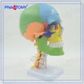 PNT-0153 3 Teile farbiges Schädelmodell