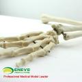JOINT11 (12358) Modelos de esqueleto humano do braço superior da anatomia médica, modelo de esqueleto articulado do braço