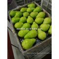 Year 2016 New Season Packham Pears