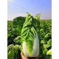 Goog Quality Fresh Chinese Cabbage