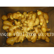 Fresh Ginger with High Quality for Sales