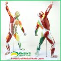 MUSCLE14(12308) Human Muscle and Skeleton Anatomy Model Learning Education 55cm Tall