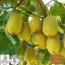 Extrait de fruits riches en vitamines Kivi à l'usine de l'usine Vitamine C