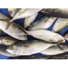 Bqf Nuevo peces de aterrizaje Caballa india