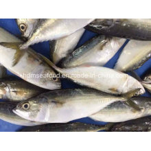 Bqf New Landing Fish Indian Mackerel