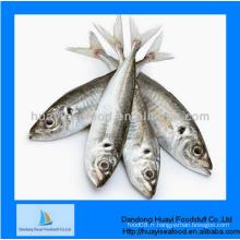 Congelé bon nouveau meilleur poisson sardine avec une meilleure qualité