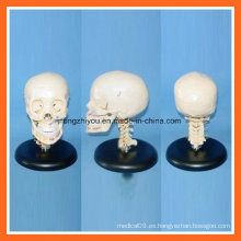 Modelo de cráneo humano de plástico con columna vertebral cervical
