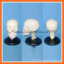 Modelo plástico de crânio humano com espinha cervical para educação