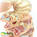 TopRanking 12398-1 Horizontal Torso Sections , Life Size 24pieces Anatomy Human Body Medical Model