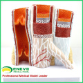 HEART16(12492) Artery & Vein Structure Anatomical Model for Medical Science