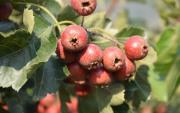 Herb Medicine, Plant Extract