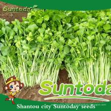 Suntoday végétal F1 organique en vrac chinois légume huile noire achat santé biologique avantages graines de céleri extrait graines (34001)