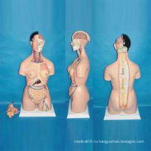 Анатомическая модель человеческого торса для медицинского обучения (R030103)