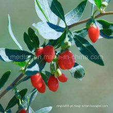 Nêspera Wholesale Goji Berry Wolfberry