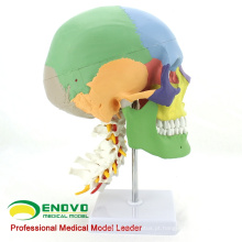 SKULL11 (12337) modelo da coluna cervical de crânios humanos multifuncionais de ciência médica
