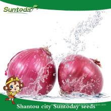 Suntoday légumes F1 organique jardin achat en ligne rouge violet oignon graines long plateau fournisseur (81003)