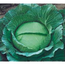 HC06 Wudi resistente ao calor, sementes de repolho híbrido Oblateness verde F1